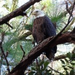 Eagle in pine